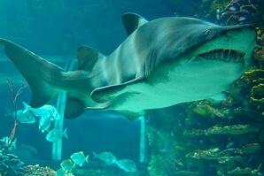 Simma med hajar