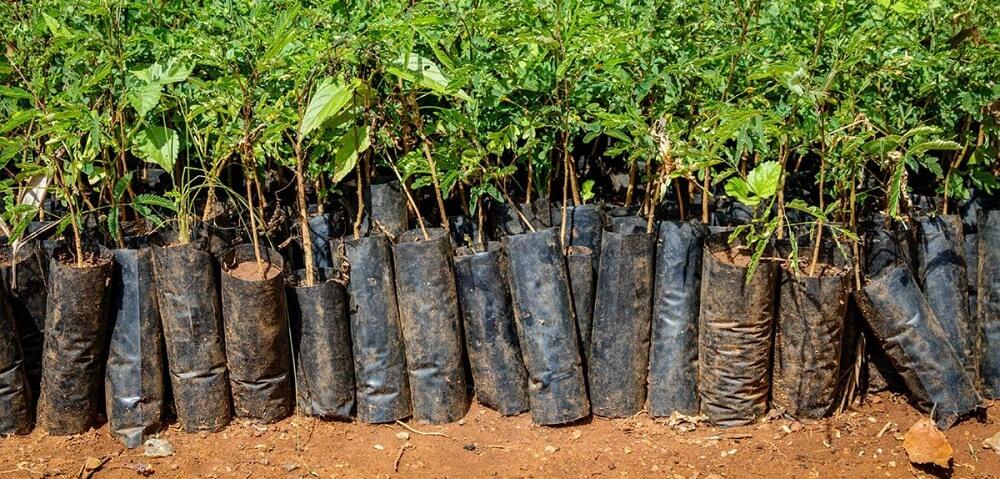 Plantera träd i Afrika